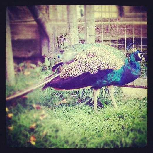 Peacock - Instagram