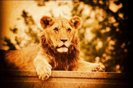 Lion - Instagram