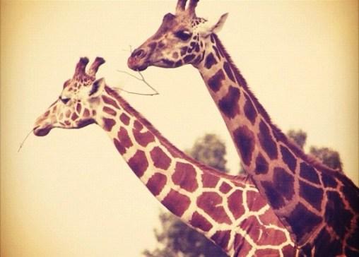 Giraffes - Instagram