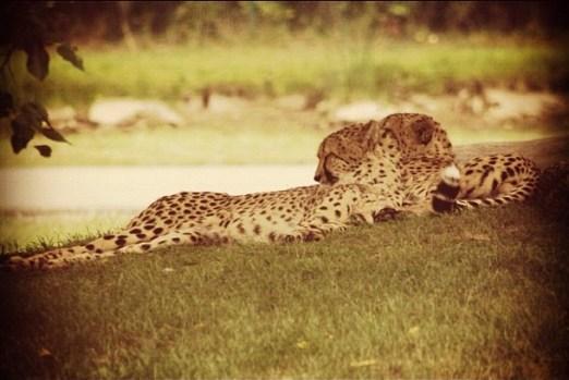 Cheetah - Instagram