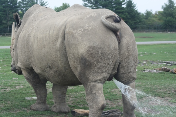 Yes. That is a rhino peeing.