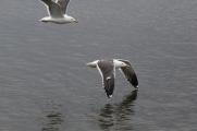 Birds in flight over Reykjavik's Lake Tjornin